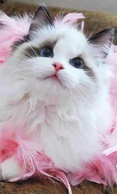 When talking about beautiful cats, ragdoll cat is definitely one of them. Ragdoll cat is a large-sized, smart cat breed with semi-long coat originating from California in Ragdolls are pointed breed which means their bodies are lighter in colors tha Pretty Cats, Beautiful Cats, Animals Beautiful, Pretty Kitty, Animals And Pets, Baby Animals, Cute Animals, Wild Animals, Funny Animals