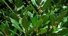 Nikdy více křečové žíly, bolesti kloubů, ztráta paměti a bolesti hlavy díky této rostlině Laurel Leaves, Bay Leaves, Plant Leaves, Red Skin Rash, Medical Miracles, Laurus Nobilis, Household Plants, Eczema Psoriasis, Varicose Veins