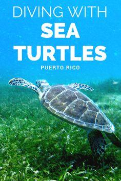 Tu puedes nadar con tortuga en Puerto Rico.