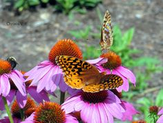 Spangled Fritillary Orange Butterfly and Coneflowers (Echinacea) basking in the summer sun at Cedarmere in the Blue Ridge