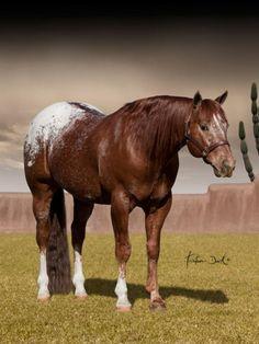 Appaloosa Stallion MA Thunderstorm. Love this horse.
