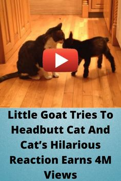 #Little Goat Tries To #Headbutt Cat And Cat's #Hilarious Reaction Earns 4M #Views