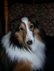 Marty is an adoptable Shetland Sheepdog Sheltie Dog in New Albany, IN. Marty is from a midwest puppy mill. He is alittle shy butveryfriendly. He takes treats very sweetly and when it's bedtime he...