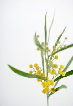 Mimosa  Je doute de ton amour  Dans le langage des fleurs, le mimosa symbolise la sensibilité et la grande délicatesse. Mimosa jaune : Personne ne sait que je t'aime.