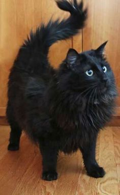 A Black Beauty Fluffy Black Cat Crazy Cats
