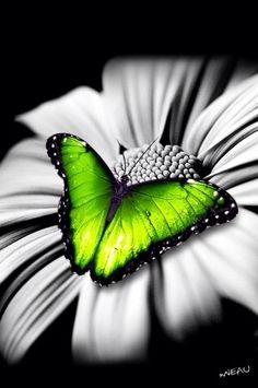 Green butterfly on black and white flower..