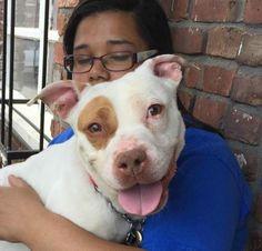 Alhia (19376)  Dog • Pit Bull Terrier • Young • Female • Small  Associated Humane Societies-Newark Newark, NJ