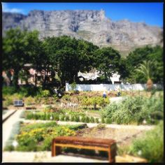 Oranjezicht City Farm in Cape Town invites you to pick n pay for organic veg on a Wednesday afternoon, 4 - 6pm, in the city bowl. Their Saturday morning market is also wonderful.  #green #mothercitydesign #organic #market #CapeTown #garden #urbanfarming