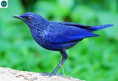 https://www.facebook.com/WonderBirdSpecies/ Blue whistling thrush (Myophonus caeruleus); Central Asia, China and Southeast Asia; IUCN Red List of Threatened Species 3.1 : Least Concern (LC)(Loài ít quan tâm) || Hoét lam; Trung Á, Trung Quốc và Đông Nam Á; [HỌ HOÉT - TURDIDAE (Thrushes) || HỌ ĐỚP RUỒI - MUSCICAPIDAE (Old World Flycatchers) ??].
