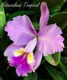 Flor de la orquídea Cattleya lueddemanniana Rare Flowers, Amazing Flowers, Diy Flowers, Beautiful Flowers, Purple Orchids, Purple Flowers, Orchid Varieties, Orchid Tattoo, Cattleya Orchid