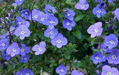 Veronica Umbrosa 'Georgia Blue': Early - late spring blooms on high stems, full sun Flower Seeds, Flower Pots, Colorful Flowers, Blue Flowers, Clover Plant, Fairy Garden Plants, Fairy Gardens, Herb Garden, Buy Plants Online