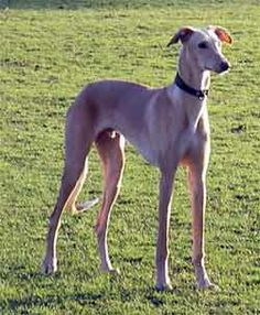 The Galgo Español or Spanish greyhound is an ancient breed of dog, specifically a member of the sighthound family. The English greyhound is possibly a descendant of the Spanish greyhound.
