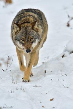 Wolf by Sven Micklisch**