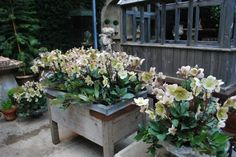 vintage French wood sink on legs stuffed with hellebores