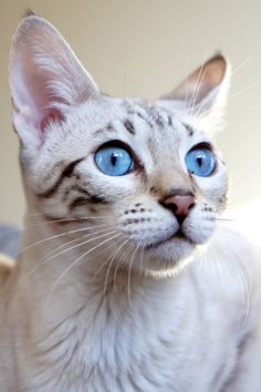 Little Miss Blue Eyes #cats #kittens #pets #animals #felines