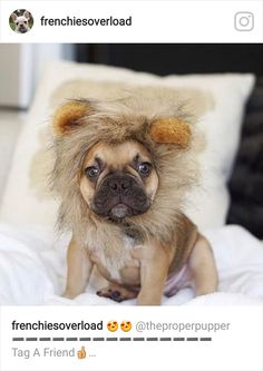 French Bulldog Puppy in a Lion Costume ❤️