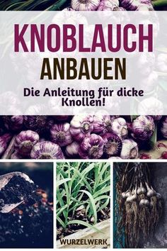 Knoblauch pflanzen, anbauen, ernten und lagern - Wurzelwerk Planting, growing, harvesting and storing garlic: Here are the instructions for thick bulbs - regardless of whether you want to plant Garden Planters, Herb Garden, Vegetable Garden, Garden Types, How To Store Garlic, Root System, Plantar, Plantation, Houseplants