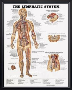 The Lymphatic System anatomy poster by Peter Bachin shows the lymphatic system throughout the body. Endocrinology chart for doctors and nurses.