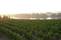Loire et vignes, vers Savennières