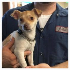 #A471815 Release date: 9/2 I am a male, white and tan Chihuahua - Smooth Coated mix. I have been at the shelter since Aug 26, 2014.  http://www.petharbor.com/pet.asp?uaid=SBCT.A471815 ...  City of San Bernardino Animal Control-Shelter. https://www.facebook.com/lchis/media_set?set=a.10203202186593068.1160364024&type=3