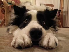 """Merlin using the """"Collie Eye"""" to good effect! #Border #Collie"""