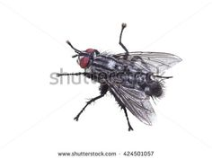 Fly meatfly isolated on white background