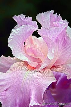 <img> An Iris in the fullness of bloom on a day in late spring. Amazing Flowers, My Flower, Flower Power, Beautiful Flowers, Flower Blossom, Iris Flowers, Planting Flowers, Iris Garden, Bearded Iris