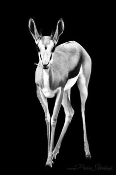 Shadow Animals - Springbuck