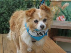 Peace of Mind Dog Rescue Pacific Grove, CA. <3 Teddy is a 10 yr, 8 lb Pom mix. He is a sweet little guy who loves to sit on a lap & snuggle. Mild mannered, walks nicely on a leash & gets along well w/ other dogs. Teddy came to us from Monterey County Animal Services after coming in as a stray.  Pet ID: 000574 • House trained • Shots Current.