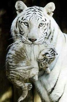 Mom Tiger carrying her baby ❤️