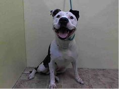 TO BE DESTROYED - SATURDAY - 4/19/14 URGENT - Manhattan Center    FAWKES - A0996601    MALE, WHITE / BLACK, PIT BULL MIX, 1 yr  STRAY - STRAY WAIT, NO HOLD  Reason STRAY   Intake condition NONE Intake Date 04/14/2014, From NY 10029, DueOut Date 04/17/2014 https://www.facebook.com/Urgentdeathrowdogs/photos_stream