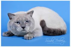 Our King! International Champion (WCF) Simba Iceberg! He is Scottish Straight blue point boy :) Professional cattery Simba Iceberg (www.simba-iceberg...)! Scottish Fold & Scottish Straight cats of rare pointed colors. PKD, FIV, FeLV free cattery! All cats are chipped, vaccinated. TICA registration. Worldwide delivery! Check our website to see available kittens! :) #cattery #colorpoint #bluepoint #ScottishStraight #TICA #WCF #kitten #cat #pet #animal #cute #adorable #pedigreed