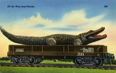Vintage Alligator postcard from Florida (a little terrifying!)
