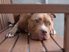 TO BE KILLED TODAY 7/14/16 Brooklyn Center My name is REED. My Animal ID # is A1078572. I am a neutered male brown and white am pit bull ter mix. The shelter thinks I am about 4 YEARS old. I came in the shelter as a STRAY on 06/23/2016 from NY 11221, owner surrender reason stated was STRAY.