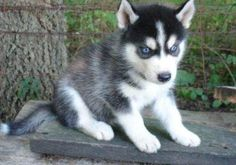 Husky With Blue Eyes Puppy