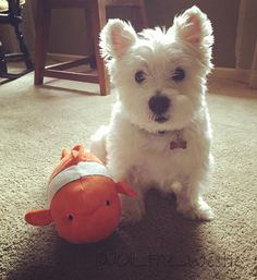 My sis got me a new fishy toy to celebrate me having 500 followers, and me getting my very own little pet fish!!! Thanks @mickeywesty for being #500! Thanks to everyone for following my adventures! #dog #doggy #dogslife #dogstagram #dogsofinstagram #puppylove #westie #westiegram #westielove #westiesarethebest #westiesofinstagram #instadogs #ilovemydog #ilovemywestie #followers #followme #500followers #followfollowfollow
