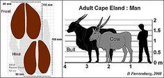 Wildlife Ranching Eland comparison to man Animal Kingdom, Wildlife, Modern, Animals, Trendy Tree, Animales, Animaux, Animal, Animais