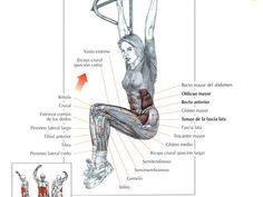 Todos los Musculos y Todos sus Ejercicios [Para el gym] - Taringa!