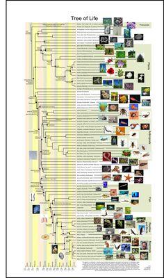 Tree of life evolution cladogram cladistics mammals fish birds phylogenetic tree free poster evolutionary tree darwin