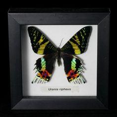 www.PaxtonGate.com - Framed Moth - Urania ripheus $25