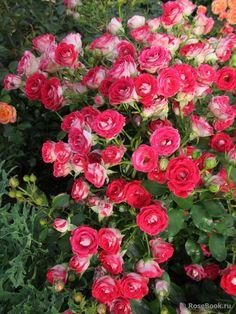 briosa barbrio barni pinterest beautiful roses flowers purple flowers. Black Bedroom Furniture Sets. Home Design Ideas
