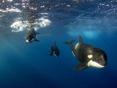 Orca family.