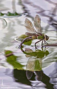 ..♔.. Dragon fly
