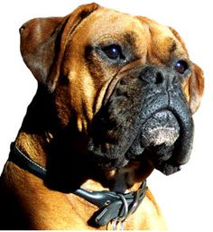 Maximus Boxer Products.