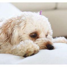 Sleepy Sunday mornings like these 💤🐶 Crockpot Grits, Cooker Dog, Lazy Sunday Morning, Cockapoo, Cuddles, Mornings, Dog Food Recipes, Fur Babies, Eyelashes