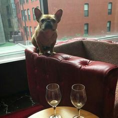 """I'm not coming down until you bring me more Cheezes""... ""and wine, more wine too"", Walter, the Cheezy and Cheeky French Bulldog, @thedailywalter on tumblr."