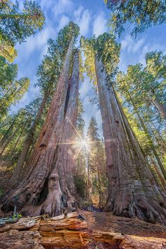 ~~Calaveras Big Trees State Park -  n addition to the popular North Grove, the park also now includes the South Grove, with a 5-mile (8.0 km) hiking trip through a grove of giant Sequoias in their natural setting by Axe.Man~~