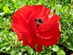 Asia red buttercup