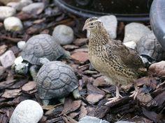 http://faaxaal.forumgratuit.ca/t2318-photo-d-oiseau-caille-du-japon-coturnix-japonica-caille-japonaise-japanese-quail
