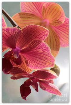 ✯ Pink Orchids